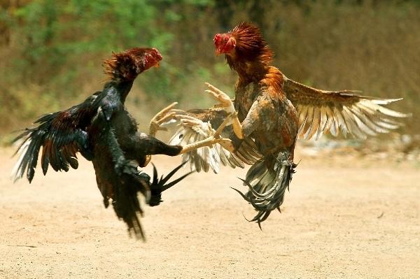 Đá gà truyền thống ở Miền Bắc