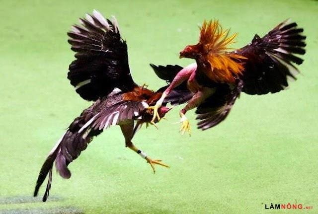 Gà mỹ đấu gà Peru tại đấu trường miền nam