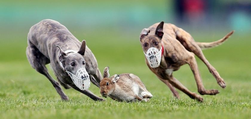 Luyện tập săn mồi của Greyhound