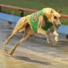 Các cược đua chó ở Vũng Tàu – Đua chó Greyhounds