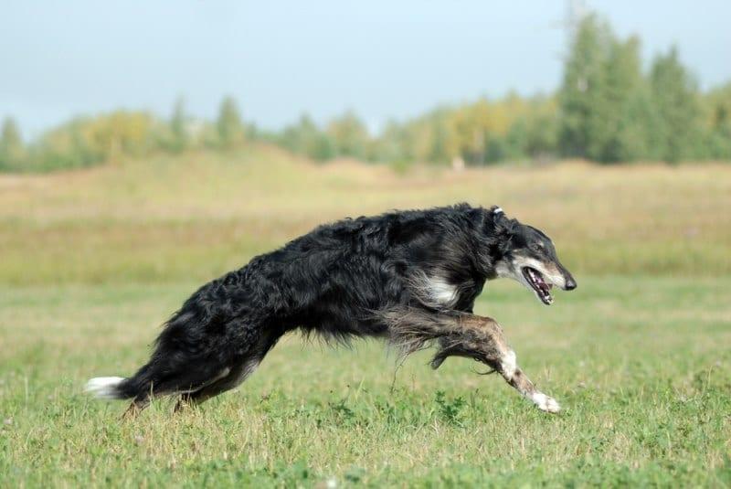 Ảnh Chó Borzoi