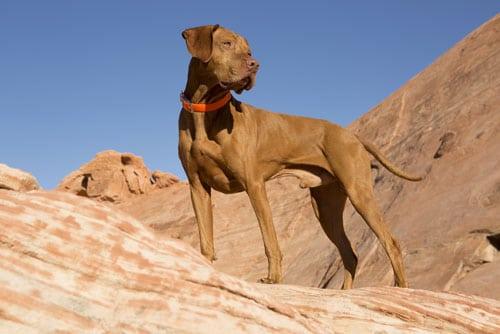 Hình ảnh Chó Vizsla