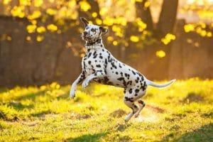 Chó đốm hay còn gọi là chó Dalmatian
