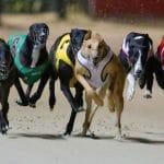 số chó đua trong 1 trận