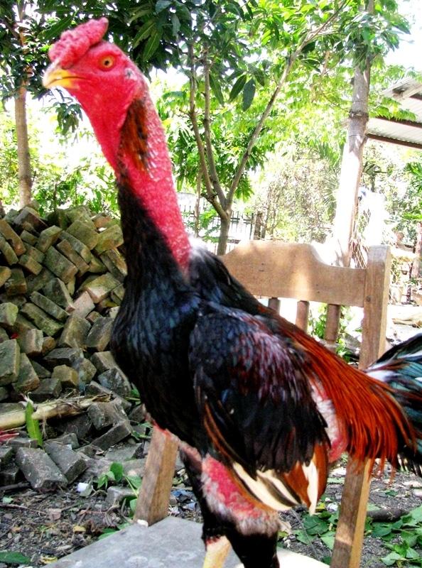 Những con gà chọi có màu lông này thường có sức khỏe tốt, ra đòn lợi hại, khắc chế đối thủ