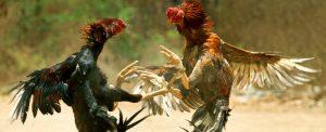 Mẹo thắng cược chọi gà nhờ xem vảy chân gà