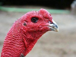 Đầu của một chú gà đòn mang thiên hướng sát khí