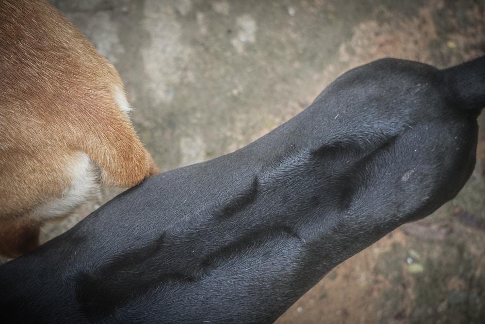 Các xoáy và dải lông mọc ngược trên lưng chó Phú Quốc làm say mê bao người chơi chó trên thế giới.