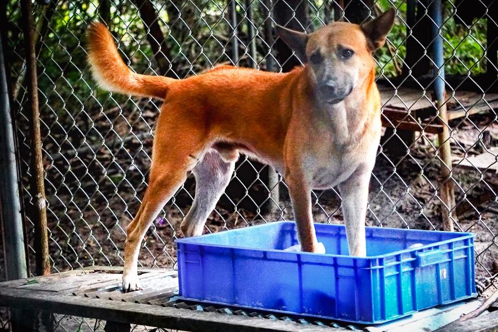 Hình ảnh một chú chó Phú Quốc