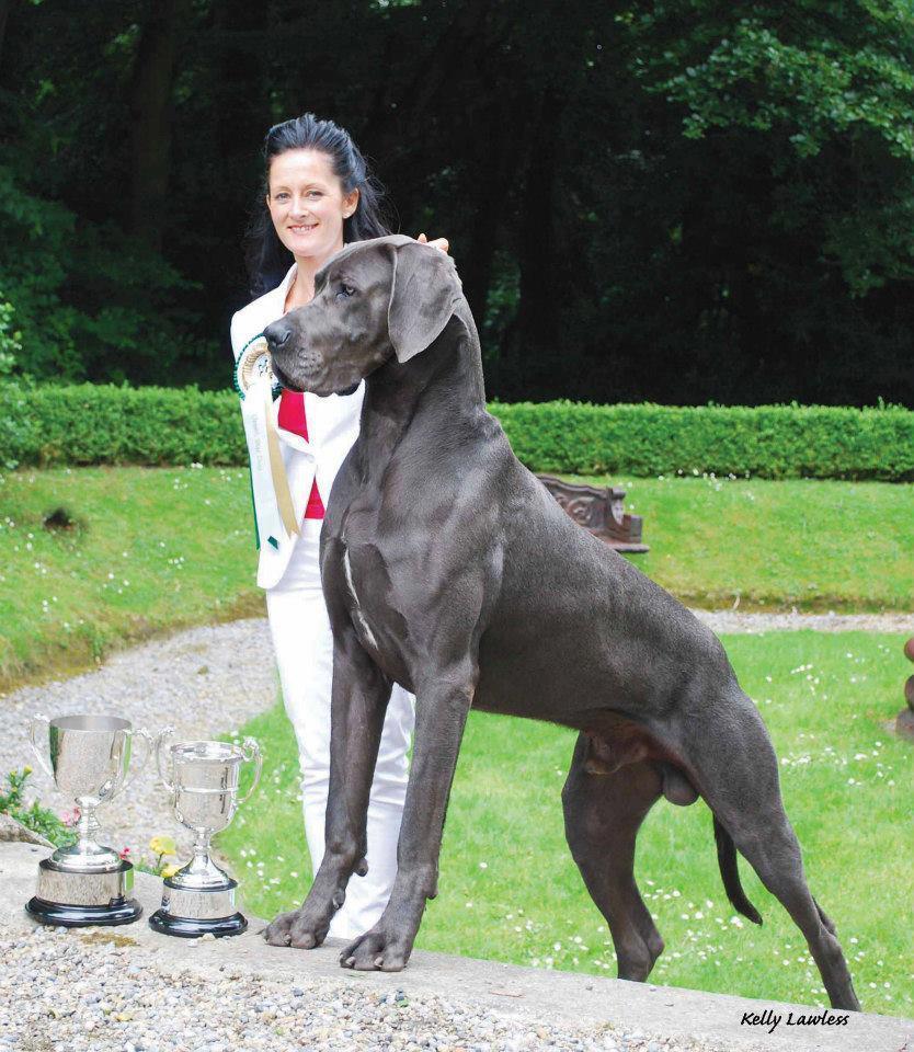 Chó Great Dane cực khổng lồ gần to bằng người trưởng thành