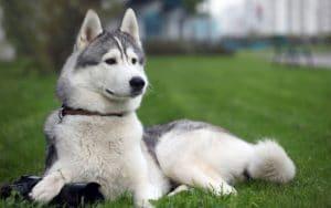 Hình ảnh: Husky Siberia ánh mắt khá hiền lành