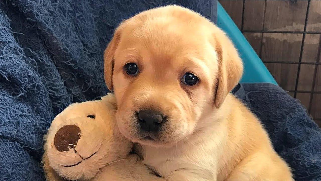 Tuy được xếp và giống chó săn nhưng chúng rất hiền lành, dễ gần và thân thiện với con người. Labrador nổi tiếng là giống chó thông minh, nhanh nhẹn và đặc ...