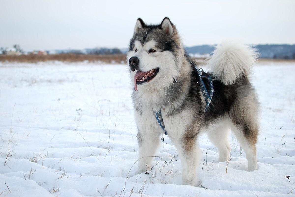 Chó Malamute Alaska cực dễ thương