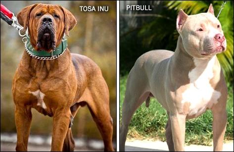 Hình ảnh so sánh giữa chó ngao Nhật và Pit Bull
