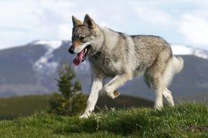 Nhìn vẻ mặt khá dữ tợn của chó lai sói