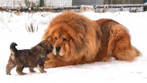 Hình ảnh chó Ngao Tây Tạng khổng lồ