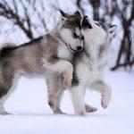 Top giống chó đẹp nhất thế giới bạn nên nuôi 1 con
