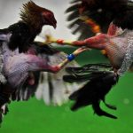Cách nuôi, chăm sóc và huấn luyện gà chọi chiến