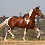 10 giống ngựa đua tốt nhất thế giới