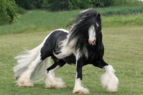 Ngựa Anh không những khỏe mà còn rất đẹp mã