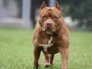 Hình ảnh: Chó Pit Bull BẮc Mỹ