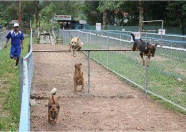 Độc đáo đua chó Phú Quốc